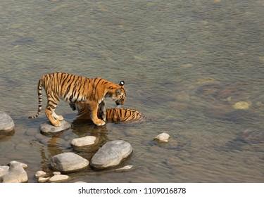 Paarwali and her cub at Ramganga river, Jim Corbett Tiger Reserve