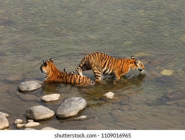 Paarwali tigress cub entering into Ramganga river at Jim Corbett Tiger reserve