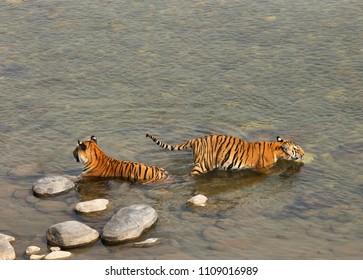 Paarwali tigress and cub in Ramganga river at Jim Corbett Tiger Reserve