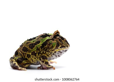 Pac man frog isolated on white background