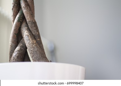 "Pachira aquatica trunk, called ""money tree"", isolated. Selective focus."