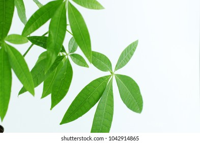 Pachira tree pot in white background