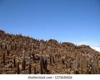 Pachycereus pringlei known also as Cardon Cactus in Isla Incahuasi (Incahuasi Island) known also as Isla Pescado (Fish Island) in Salar Uyuni, Bolivia. Salar de Uyuni is the world's largest salt flat.