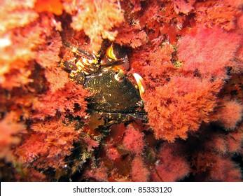 Pachygrapsus shore crab camouflaged in the red algae Corallina elongata, Argeles sur Mer, Roussillon, Pyrenees Orientales, Mediterranean sea, France