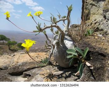 Pachypodium Rosulatum - Elephant's foot - plant in bloom