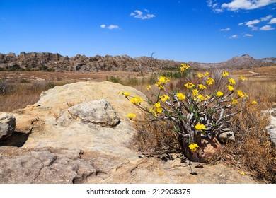 Pachypodium Rosulatum Gracilius, common name Elephant's Foot Plant, in Isalo national park, Madagascar