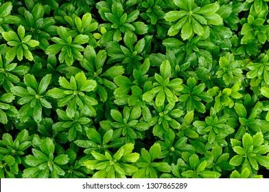 Pachysandra evergreen groundcover after a rainfall green background