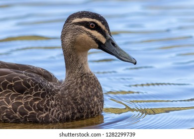 Pacific Black Duck (Anas superciliosa). Lake Tinaroo, Queensland, Australia.