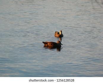 Pacific Black Duck Dawson River Campground Taree Australia