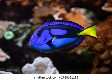 Pacific blue tang fish, (Paracanthurus hepatus), on coral background