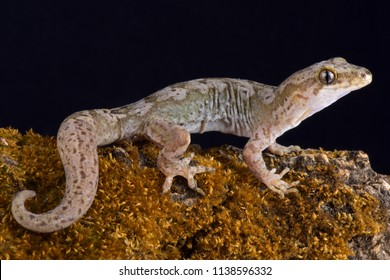The Pacific gecko (Dactylocnemis pacificus)  is a gecko endemic to the North Island of New Zealand.