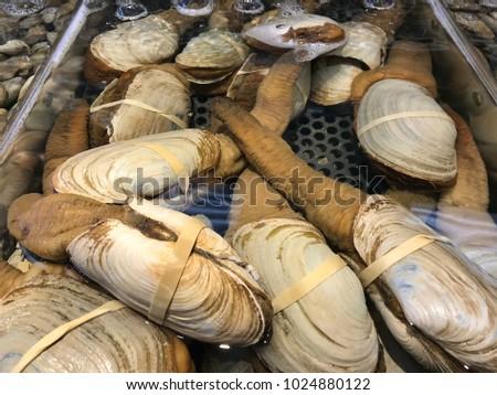 pacific geoduck clam panopea generosa fish の写真素材 今すぐ編集