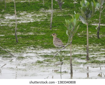 Pacific golden plover has golden back as winter plumage.This migratory species winter in Hong Kong.These waders forage for crustaceans and invertebrates by sight on wetlands like mudflats and tundra.
