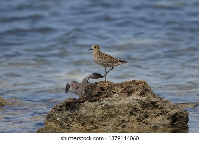 Pacific Golden Plover (Pluvialis fulva) perched on a seaside rock in Wakatobi island, Sulawesi.
