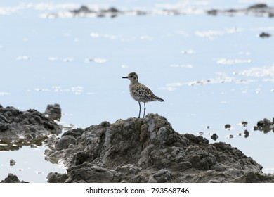 Pacific Golden Plover(Pluvialis fulva) are standing on mound in the water source, Non-breeding Visitor, Passage Migrant in Spring and/or Autumn