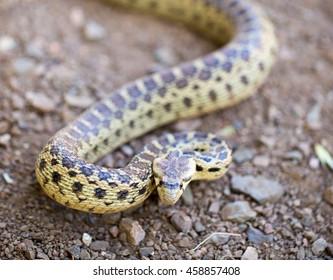 Pacific Gopher Snake (Pituophis catenifer catenifer) adult in defensive posture, Santa Cruz Mountains, California, USA.