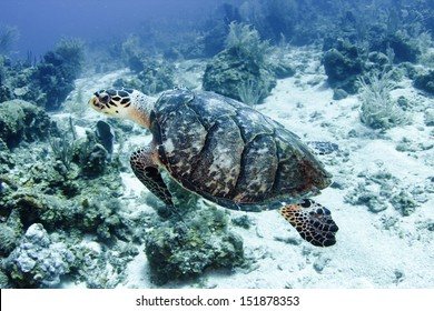 pacific green turtle swimming on great barrier reef, cairns, australia. underwater tropical reef scene