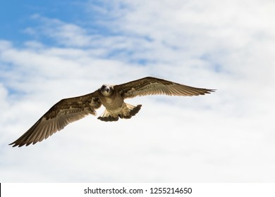 Pacific Gull in flight, big brown bird flying hovering in blue sky in Australia (Larus pacificus)