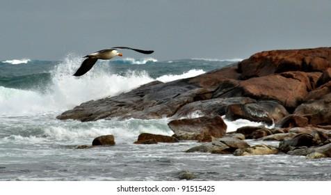 Pacific Gull Flying Over Ocean