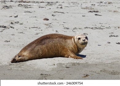Pacific Harbor Seal, Phoca vitulina, on sandy beach of Smith Island, in the San Juan Islands in the Strait of Juan de Fuca, between British Columbia and Washington state