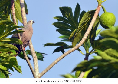 Pacific imperial pigeon sit on a Breadfruit tree in Rarotonga, Cook Islands.  Its natural habitats are tropical forests on Pacific islands.