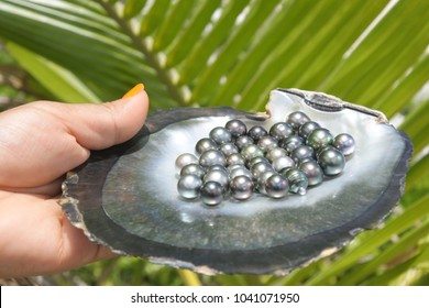 Pacific Islander woman hands holds a Black lip oyster shell with excellent round Tahitian Black Pearls against a green Palm tree leaf.