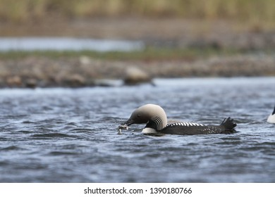 Pacific Loon or Pacific Diver fishing in arctic waters, near Arviat Nunavut, Canada