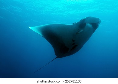 Pacific Manta Ray (Manta Birostris), Cano Island, Costa Rica
