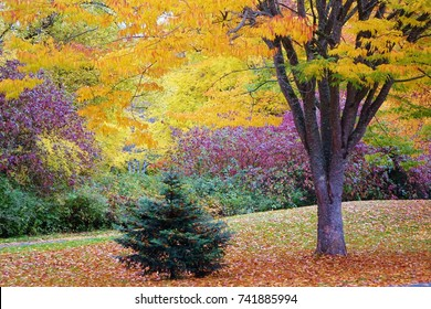 Pacific Northwest autumn in a beautiful & colorful scene at Lake Sammamish State Park in WA state. Small, lone evergreen sits below large tree with leaves in bright fall colors. Also leaves on ground.