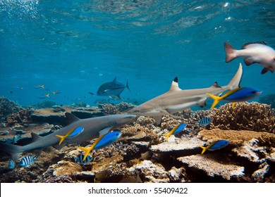Pacific ocean. Blacktip and Whitetip sharks over coral reef.