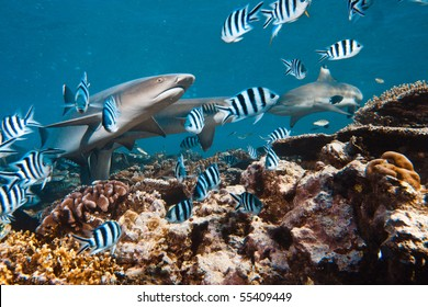 Pacific ocean. Whitetip sharks over coral reef.