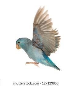 Parrot In Flight Images Stock Photos Vectors Shutterstock