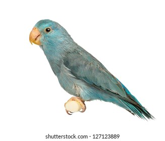 White Parrot Isolated Images Stock Photos Vectors Shutterstock