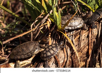 Pacific pond turtles known as Actinemys marmorata sun themselves on a rock in the middle of a pond