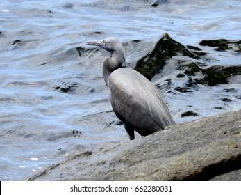 Pacific Reef Egret (Egretta sacra) on rock at gulf of Thailand