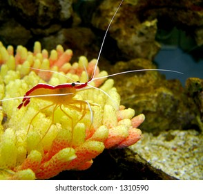 Pacific Striped Cleaner Shrimp