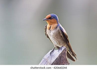 Pacific Swallow (Hirundo tahitica) in Thailand.