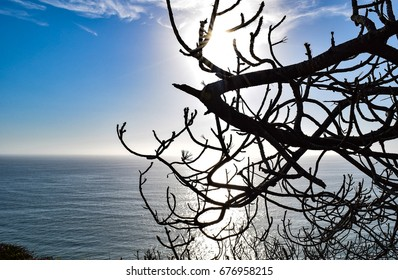 The Pacific View Through a Languishing Torrey Pine Tree at the Torrey Pines State Reserve in San Diego