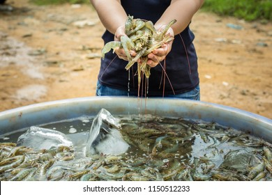 Pacific white Shrimp shrimp is native to North America. This type of shrimp aquaculture in Ecuador, Mexico, Peru, Colombia, Panama, Honduras and Brazil, which produce a lot.