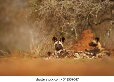 Pack of African Wild Dogs resting under the bush after hunt against orange termite hill in background. Ground level wildlife photography in soft, colorful light. Zimanga, KwaZulu natal, South Africa