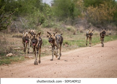 Pack of African wild dogs walking towards the camera in the Kruger National Park, South Africa.