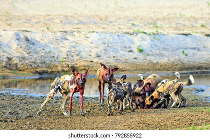 A pack of African Wild Gogs (Painted Dogs) Lycaon pictus - devouring a recnt kill in South Luangwa National Park, Zambia, Southern Africa