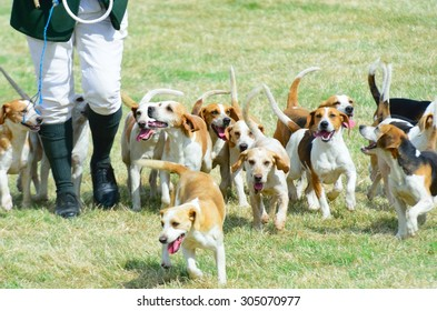 Pack of Beagles out hunting