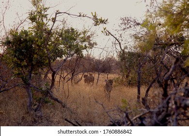 A Pack of Cheetah Roaming together in Search of Prey