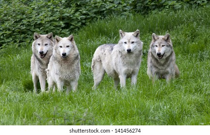 A pack of four European Grey Wolves playing in grass