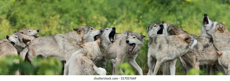 pack of gray wolf in nature