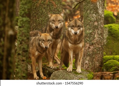 pack of  gray wolves (Canis lupus)  in the forest