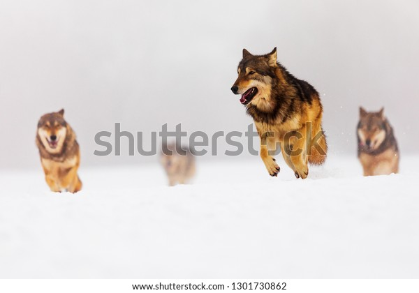 pack-gray-wolves-canis-lupus-600w-130173