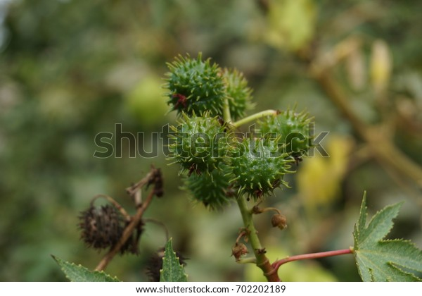 Pack of green prickly cones on the branch