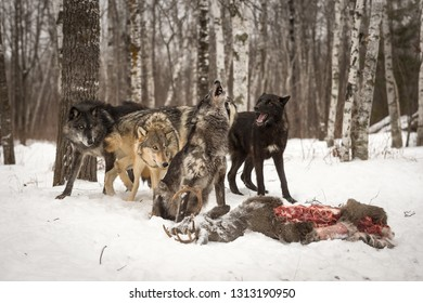 Pack of Grey Wolves (Canis lupus) Howl Over Deer Carcass Winter - captive animals